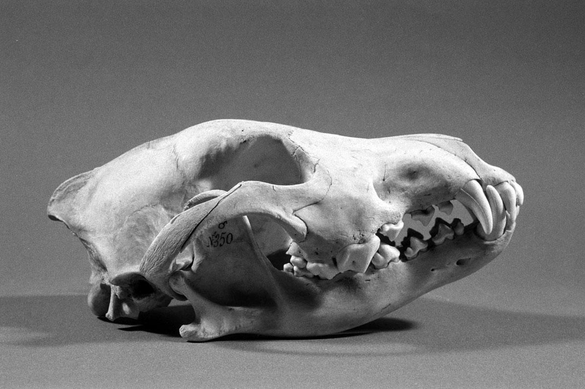 Cranio di lupo appenninico