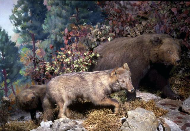 Diorama con lupo e orsi