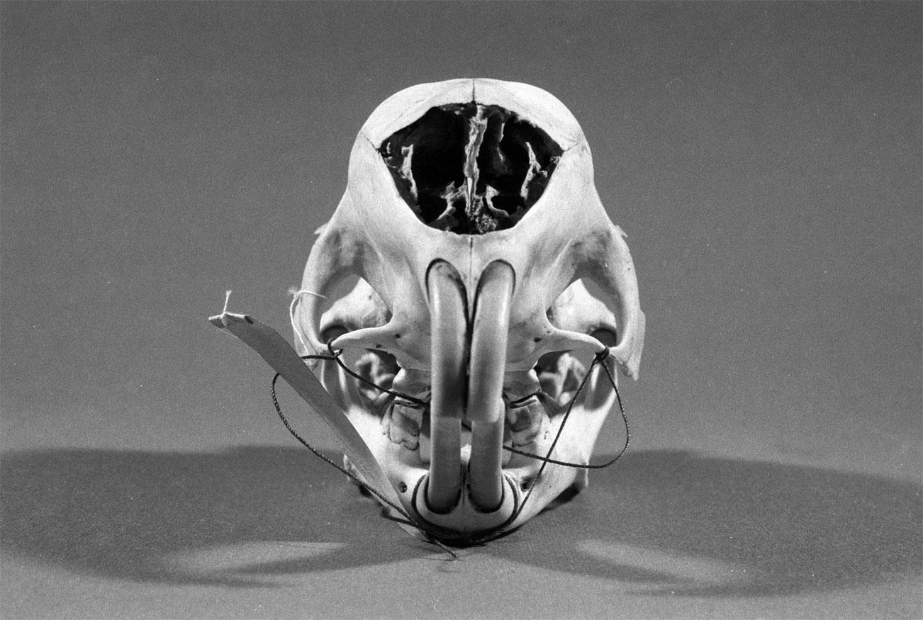 Cranio di istrice - fronte