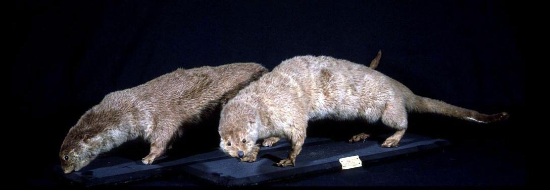 Coppia di lontre